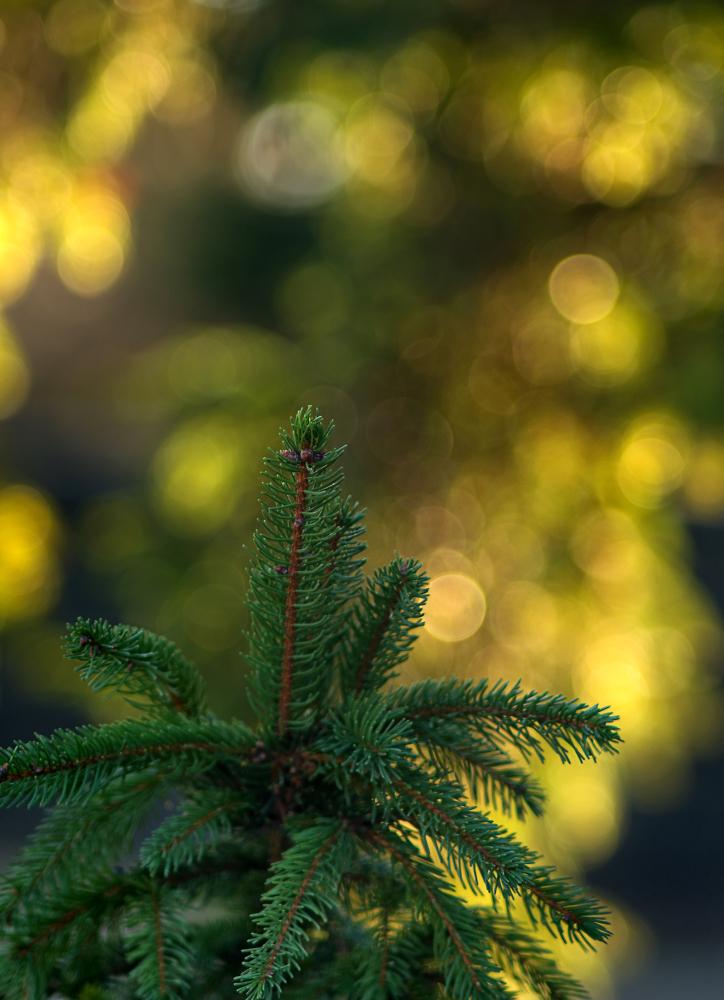 Fir Tree Bokeh
