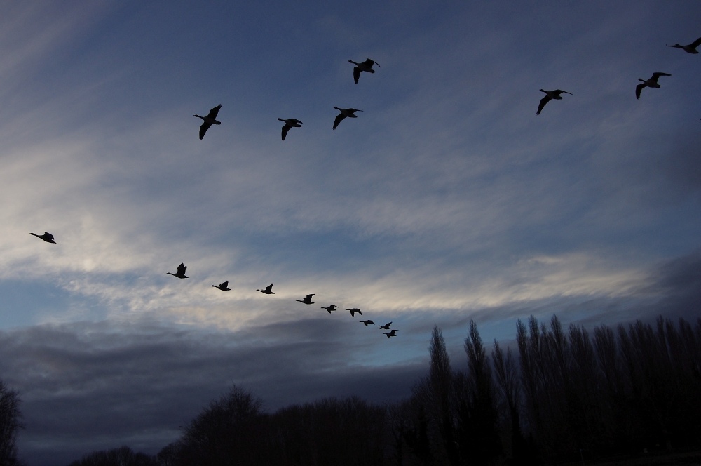 Geese over the River Thames