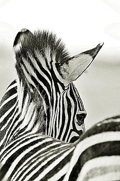 Pensive Zebra