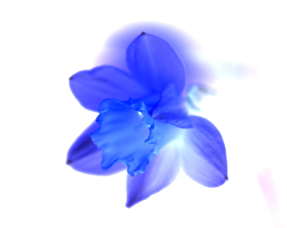 Blue Daff