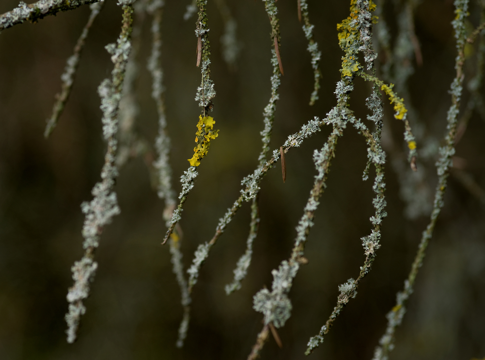 Lichen on Larch