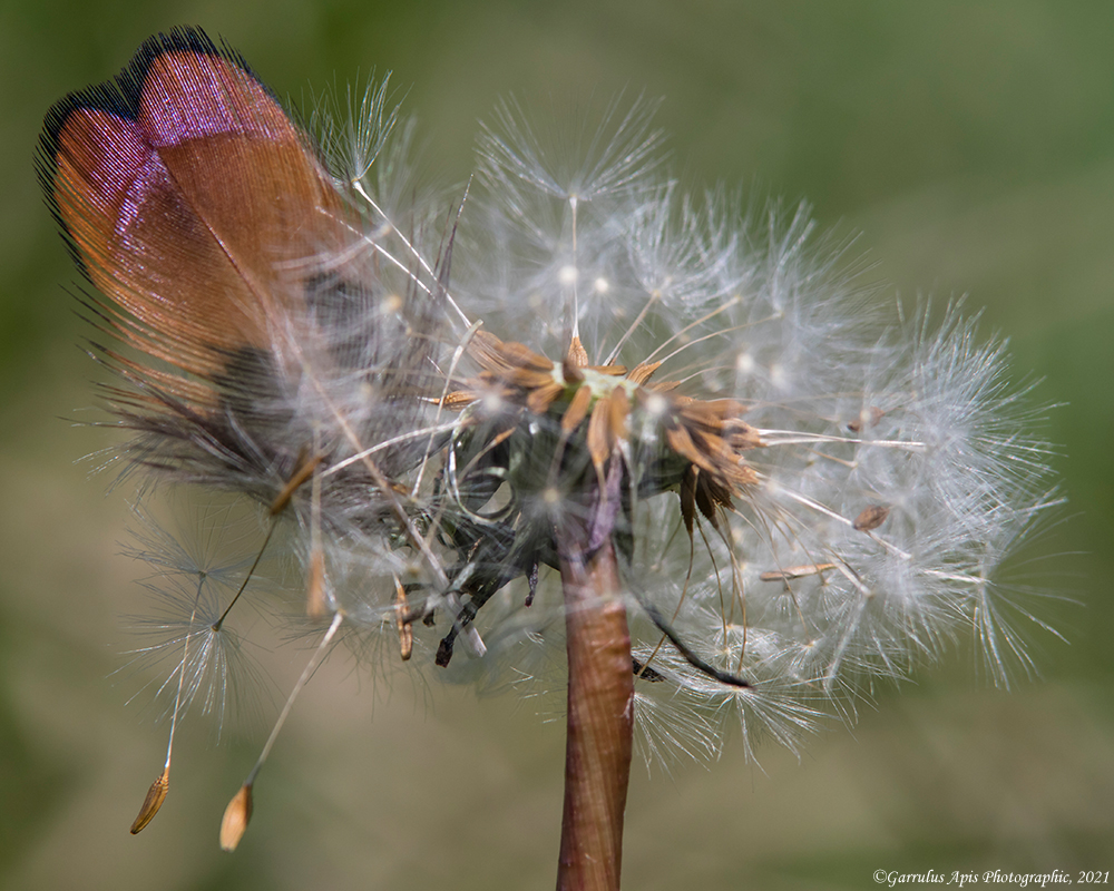 Feathered dandy goes to to seed