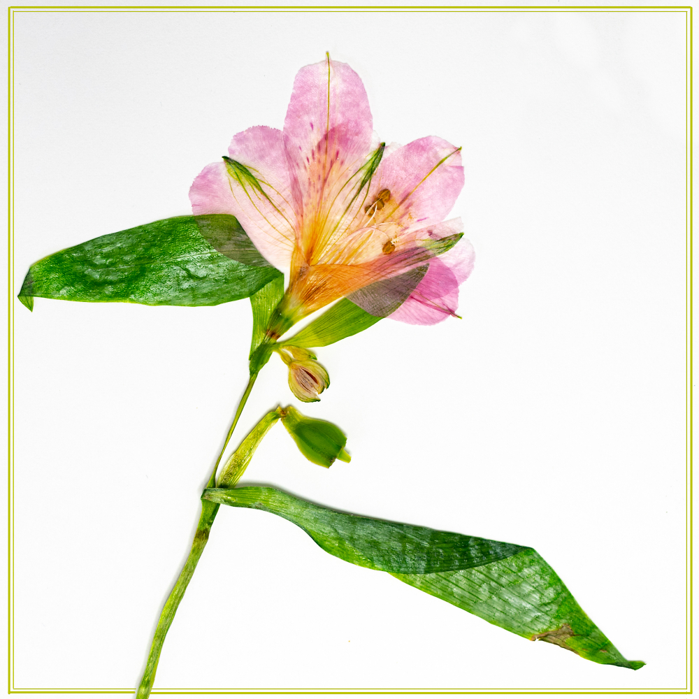 The Lovely Alstroemeria, Hot-Pressed