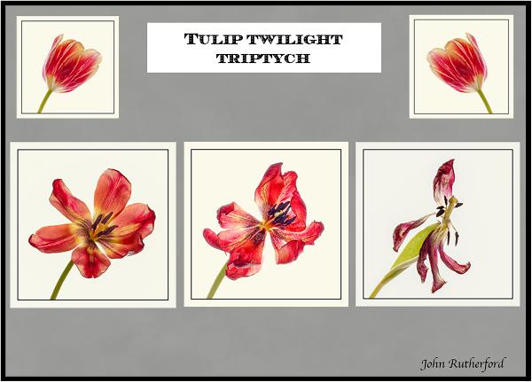 Tulip Twilight Triptych