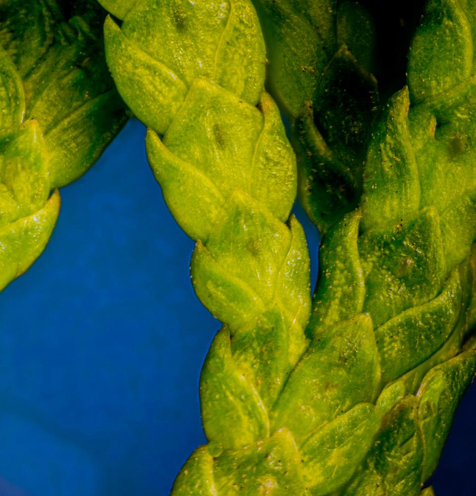 """Cedar Leaf, or is That """"Twig""""?"""