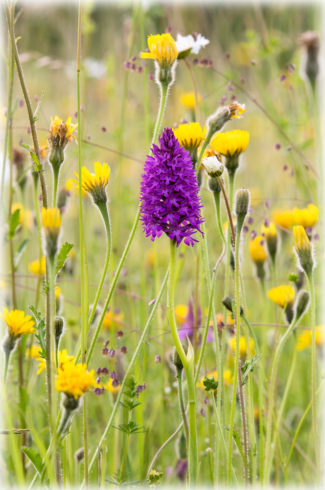 Chalk Meadow with Orchid