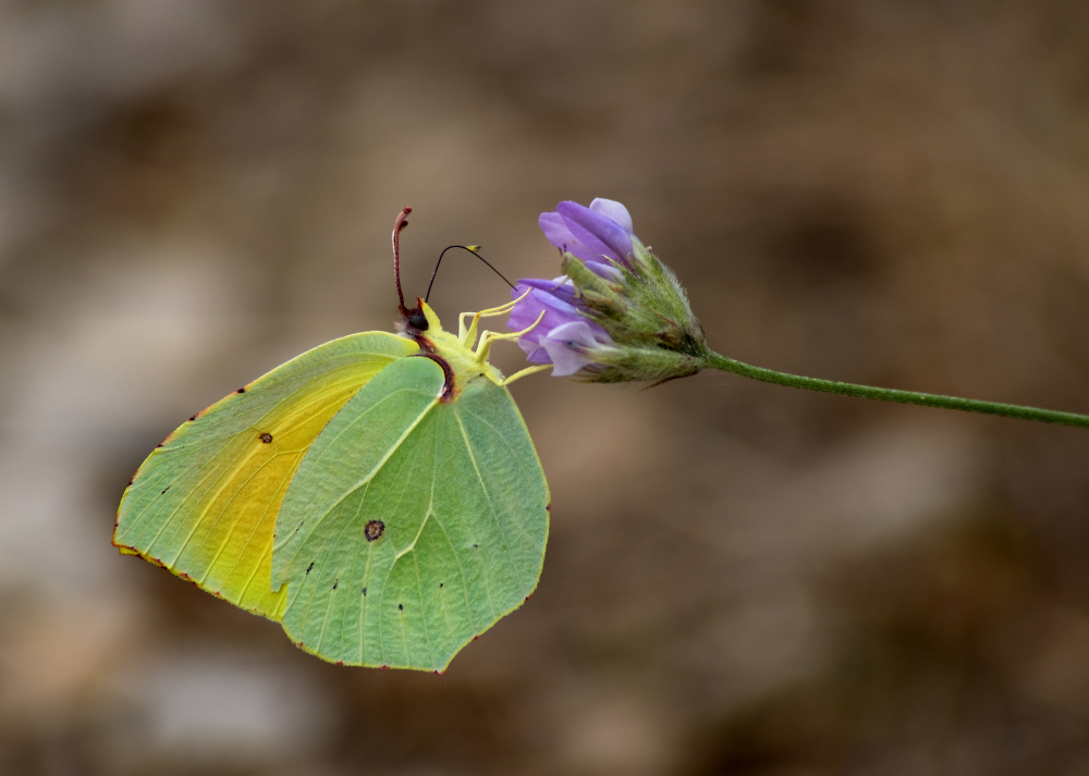 Cleopatra Butterfly Feeding on Nectar