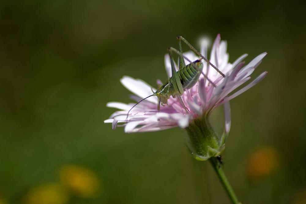 Cricket in a Flower