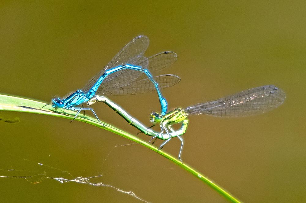 Damsel Fly Coupling