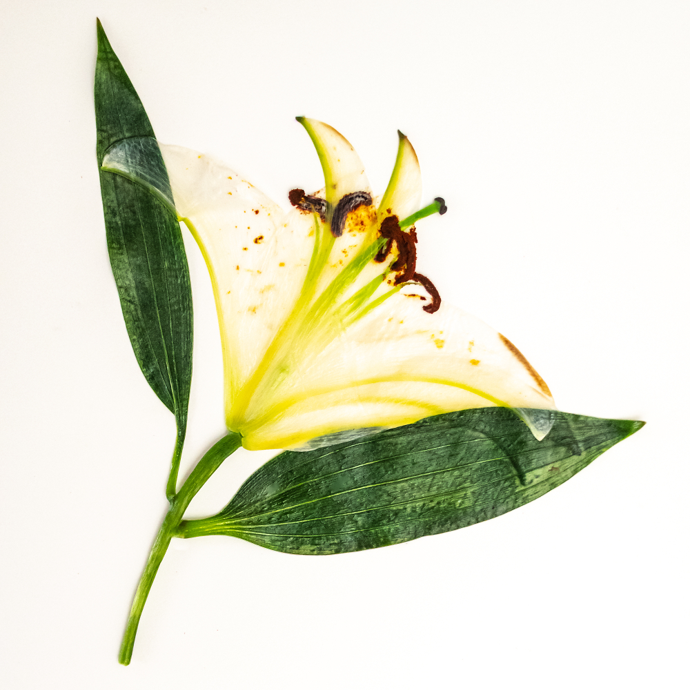 Lily, Dried