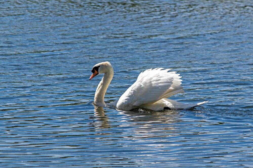 Pond Gallion