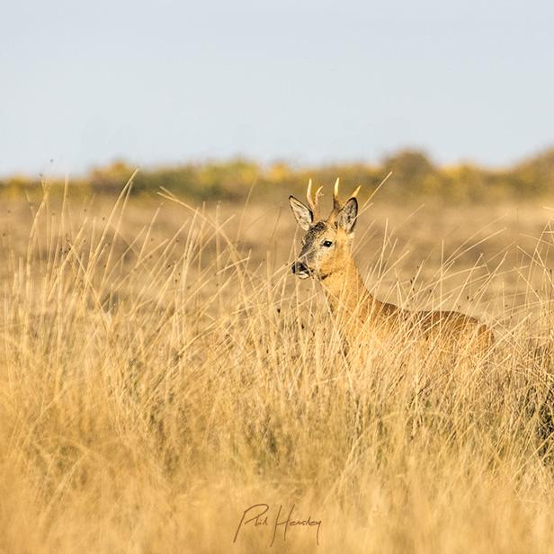 Roe Deer - early morning