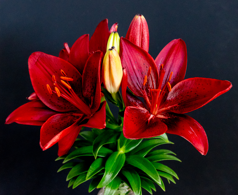 Black Background for this Striped Barbados Lily