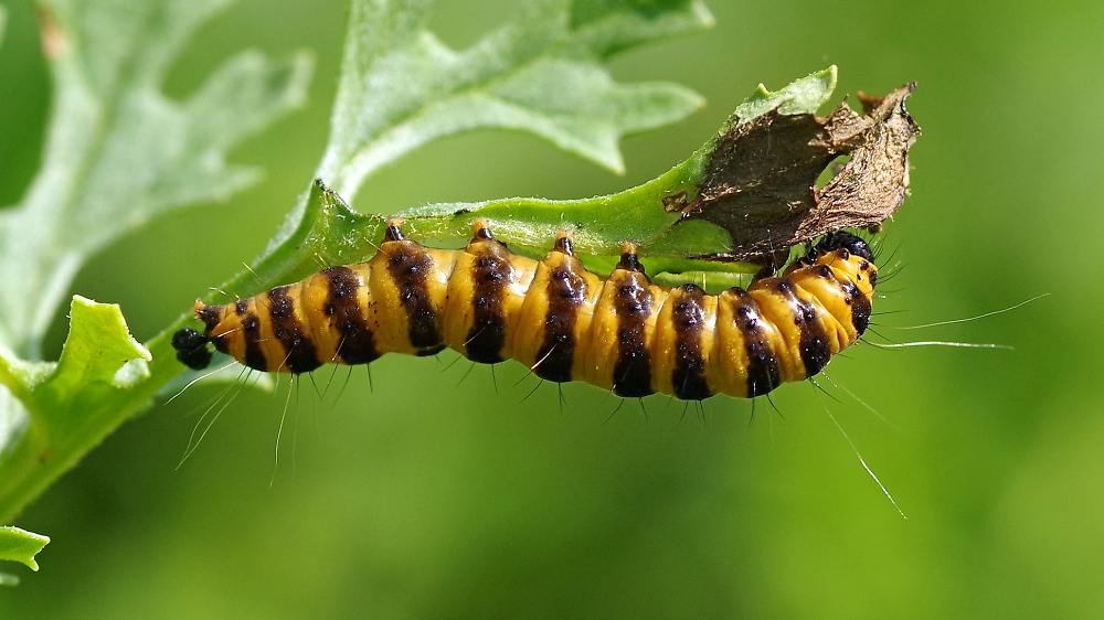 Have a huge caterpillar!