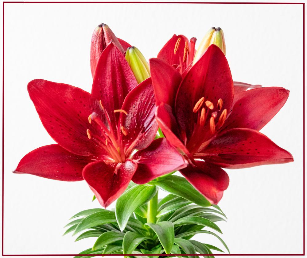 Striped Barbados Lily