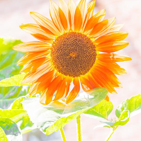Sunflower in High Key