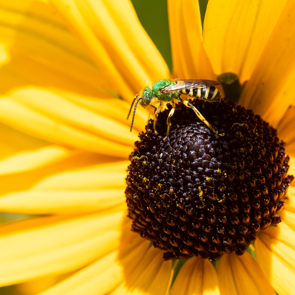 Texas (or Brown-Winged) Striped Sweat Bee