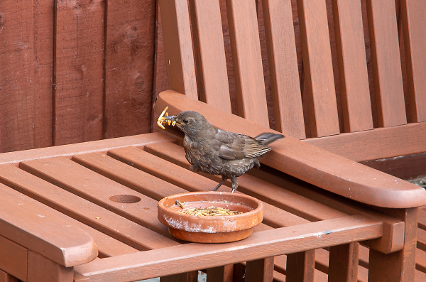 The Hungry Blackbird