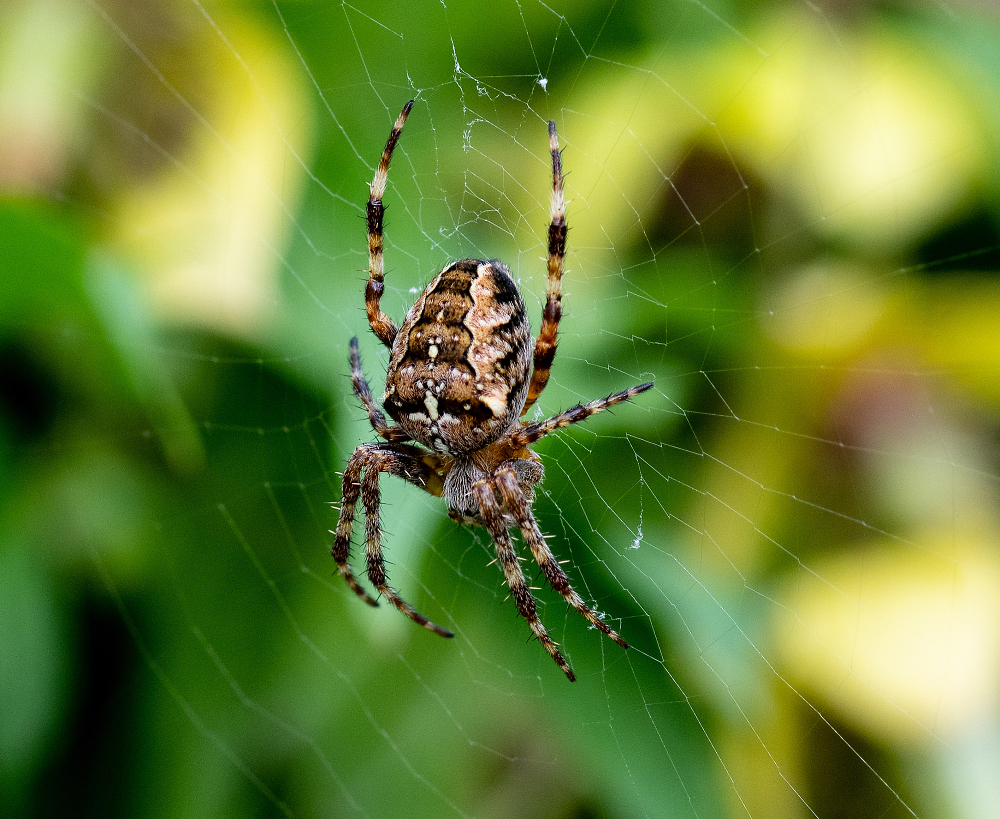 Spider in the Garden this afternoon Waiting for dinner.
