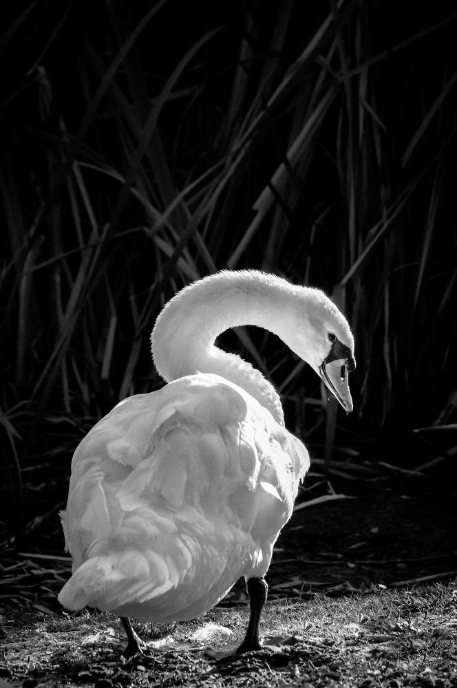 Swan B&W