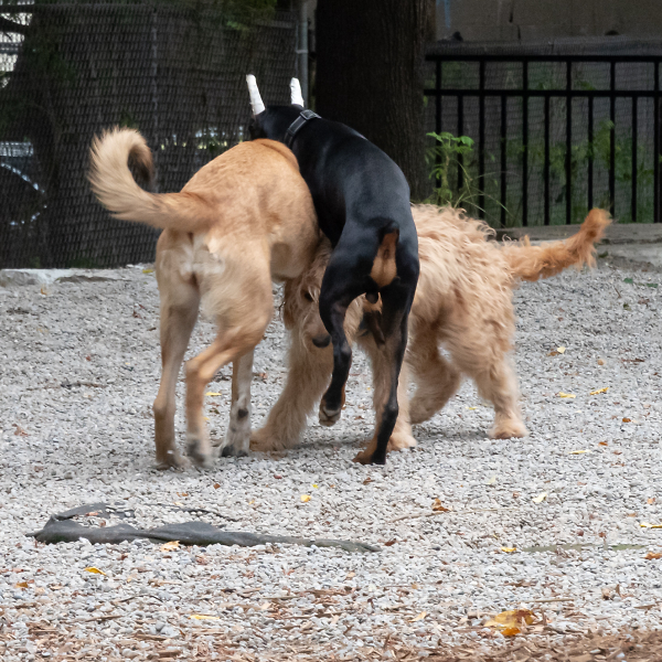 Sexually Immature Dogs Have a Go At It