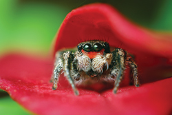 Habronattus Coecatus in Leaves